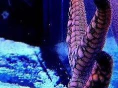 Macropharyngodon_bipartitus....female...