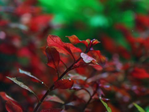 Ludwigia mini super red