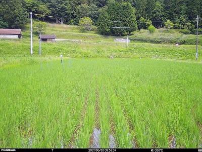 田んぼの状況 2021年6月30日
