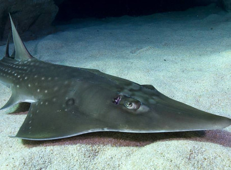 Shovelnose ray is now Critically Endangered