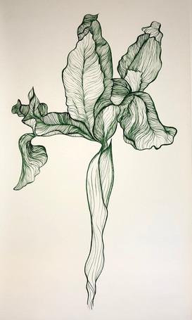 Iris Bulbosa Flore Tuteo