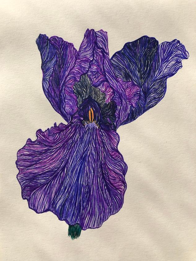 Garden Iris I