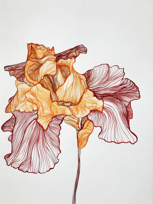 Bowing Iris