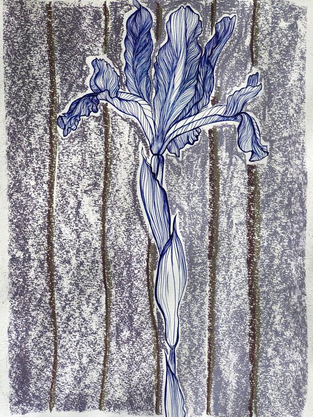 Preparatory Study with Chalk - Iris Bulbosa Tricolor