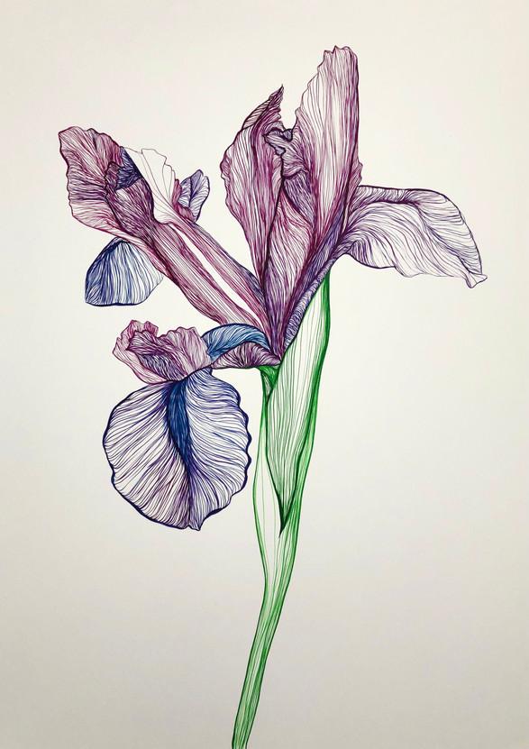 Paused Iris