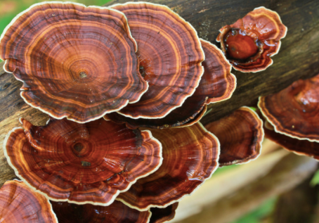 Reishi – the mushroom of immortality