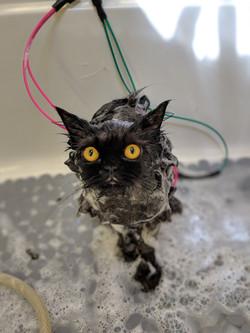 Persian Bath Grooming