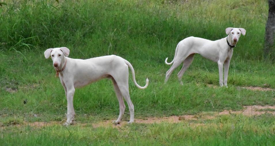 Pillar Kennel - Native Hounds.jpg