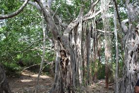 Banyan Tree en route to nagamalai hill