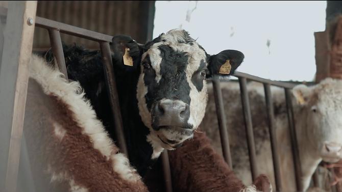 El Vídeo De La Semana // 73 Cows