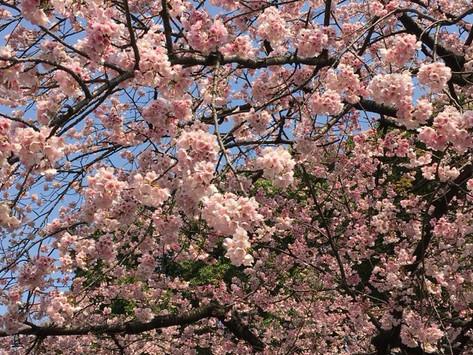 Stagioni del Giappone - Primavera