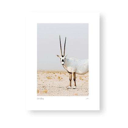 Fine Art Print Staring Oryx by Celine