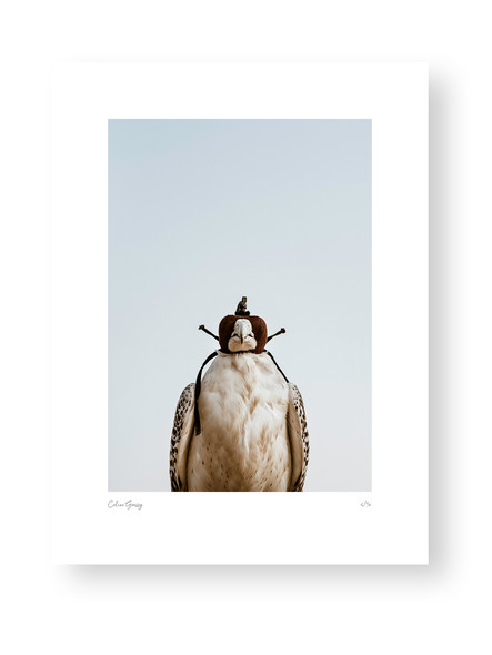 Staring Falcon by Celine Grassy