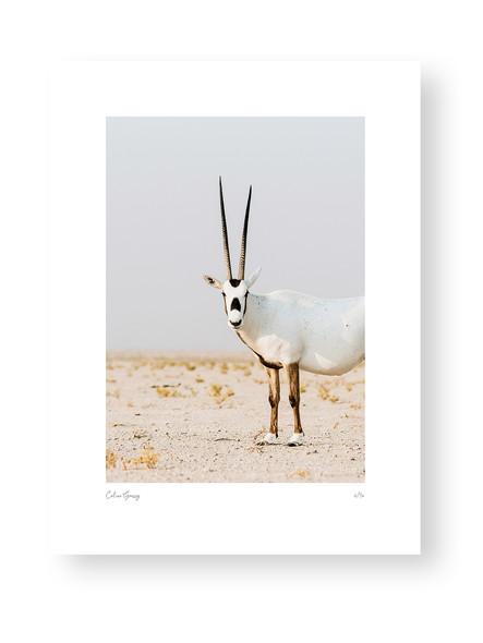 Staring Oryx by Celine Grassy