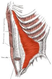 Le muscle transverse