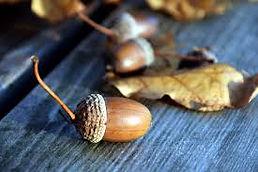 acorn.jpg