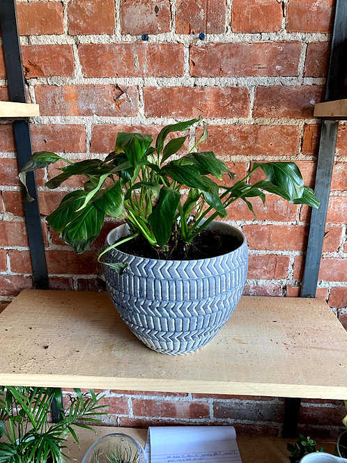 Peace Lily Plant in Blue Pot