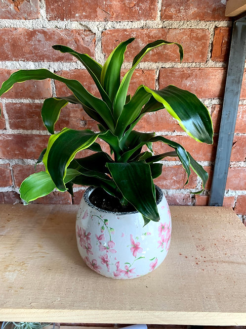 Dracaena Fragrans Plant in White & Pink Pot