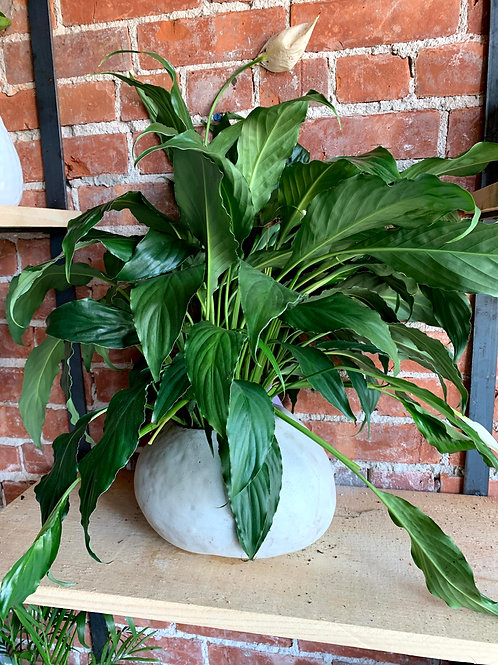 Peace Lily Plant in White Egg Shape Pot