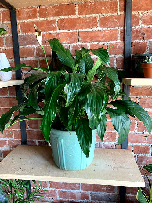 Large Peace Lily Plant in Teal Blue Pot