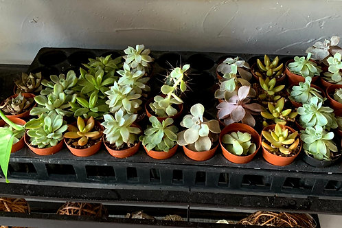Assorted Succulents and Cacti Plants
