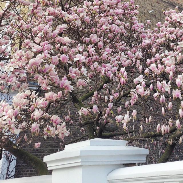 Instagram - #Beautiful #magnolia #tree. #JW on her #birthday @ a postcode she wo