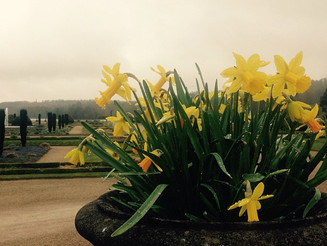 #goodFriday @ #TrentonGardens #stokeonTrent #yellow #daffodils