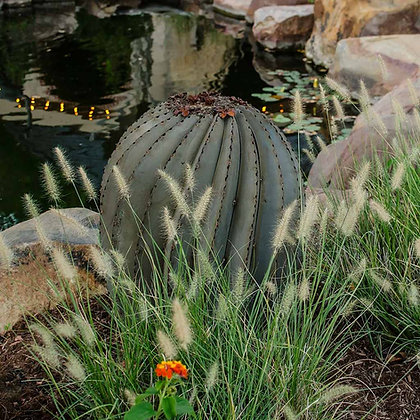 Tall Barrel Cactus