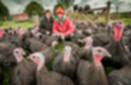 Free range bronze Christmas turkeys Swindon Wiltshire