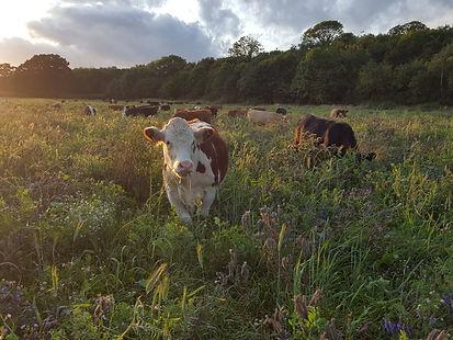 Cows in cover crop.jpg