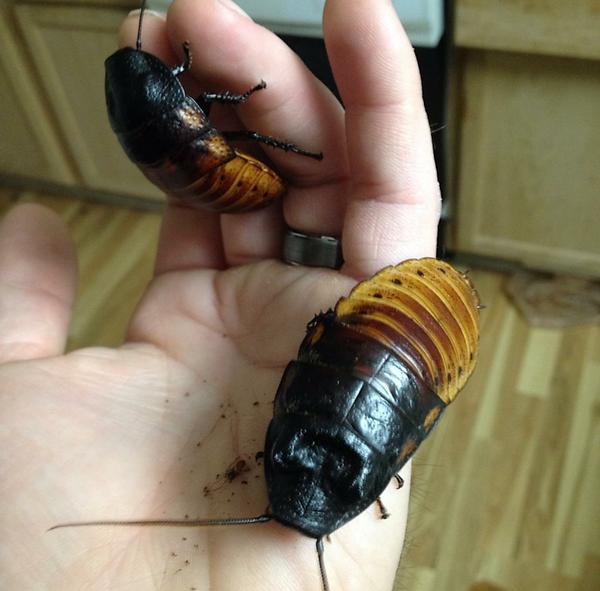 Madagascar Hissing Cockroach Gromphadorhina portentosa