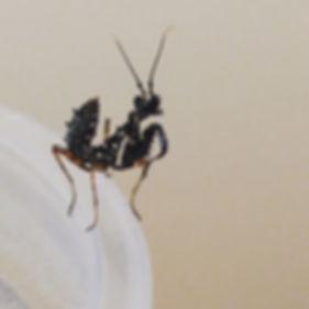 Spiny Flower Mantis Pseudocreobotra wahlbergi