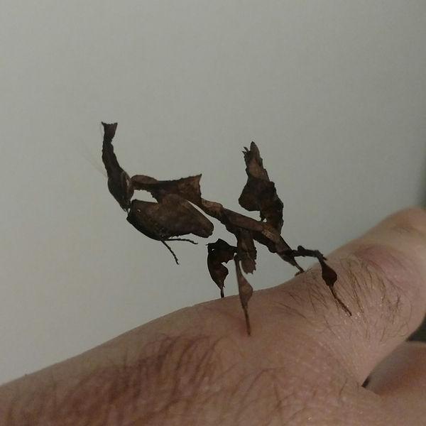 Ghost Mantis Phyllocrania paradoxa