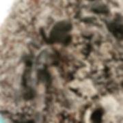 Mexican Red Knee Tarantula Brachypelma smithi