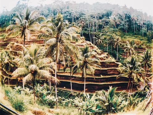Rice Field in Ubub, Bali
