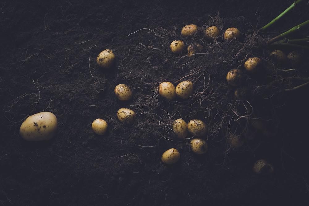 Virtų bulvių cepelinų tešla. vmg receptas