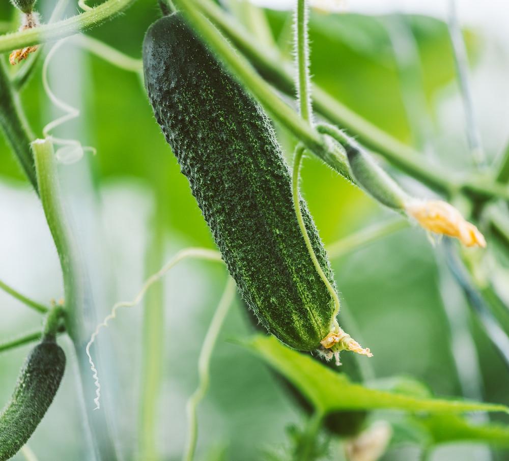 Ką gaminti iš agurkų. Alfo Ivanausko patarimai