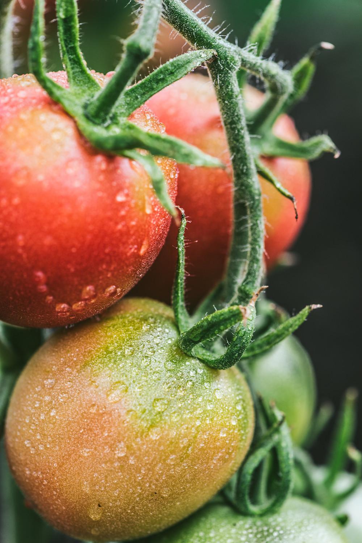 pomidorai, kaip sumažinti nitratų, vmgonline patarimai