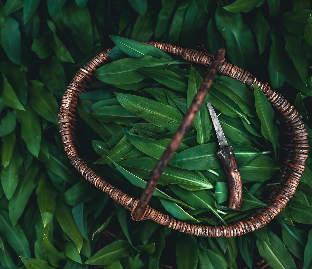 Alfo Ivanausko patarimai, valgomi miško augalai, meškinis česnakasl
