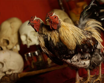 2headed-rooster-large-1024x818.jpg