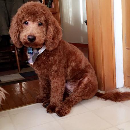Cockapoo | Dog Breeders | New Jersey Mini Goldendoodle | Joice