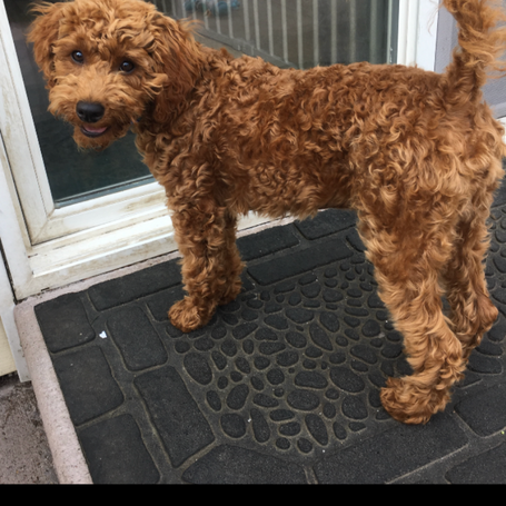 Cockapoo | Dog Breeders | New Jersey Mini Goldendoodle | Joice