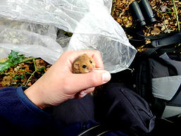 Dormouse in the hand (by Pete Newbold)