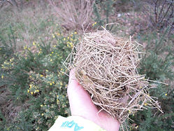 Winter nest of a dormouse (by Pete Newbold)