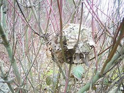Summer nest of a dormouse (by Pete Newbold)