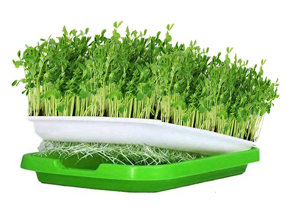 D.I.Y. Grow Kit (Organic Green Pea)