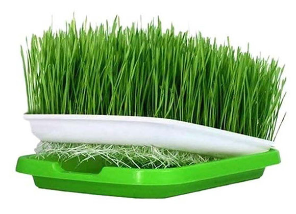 D.I.Y. Grow Kit (Organic Wheatgrass)
