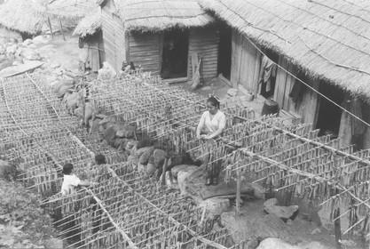 울릉도 오징어건조-1956