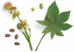castor-oil-plant-with-seeds-and-oil-caps