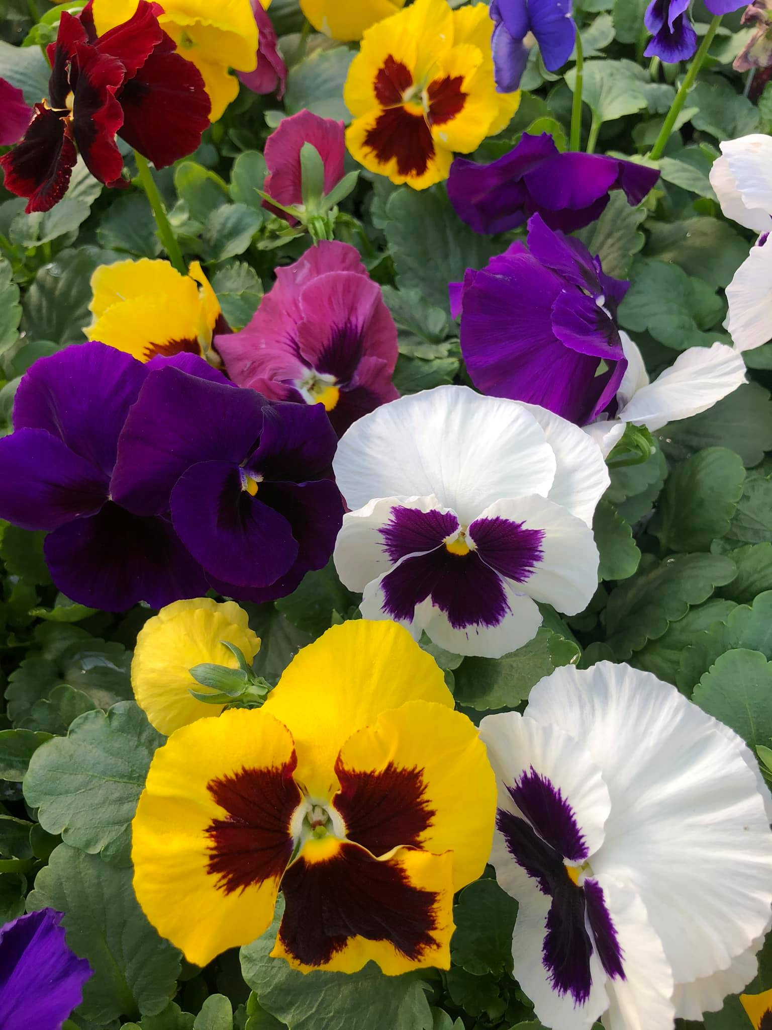 We have the Pansies!